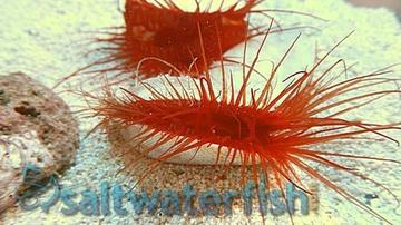 Electric Eye Scallop