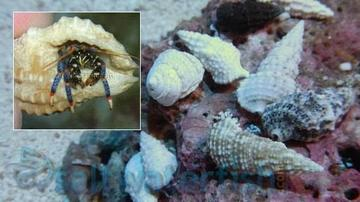 Blue Leg Hermit Crab - Group of 20