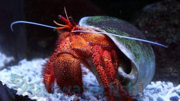 Red Hairy Hermit Crab