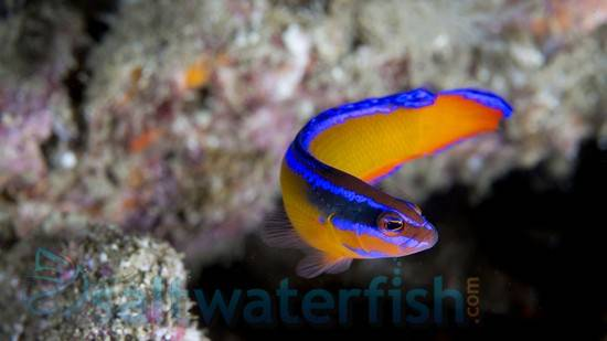 Neon Dottyback - Captive Bred