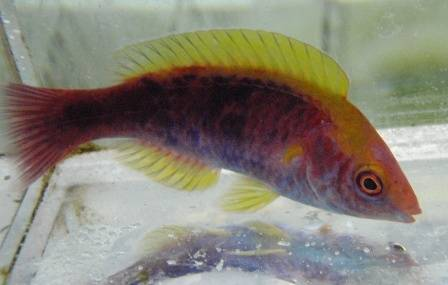 Tricolor Fairy Wrasse - Male - Super Special 60% OFF