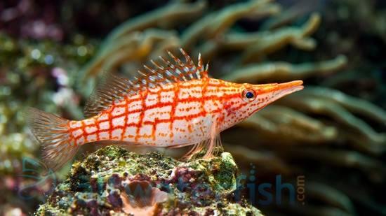 Longnose Hawkfish - South Asia