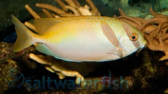 Virgate Rabbitfish