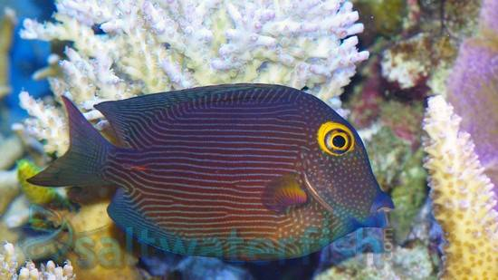 Yellow Eye Tang