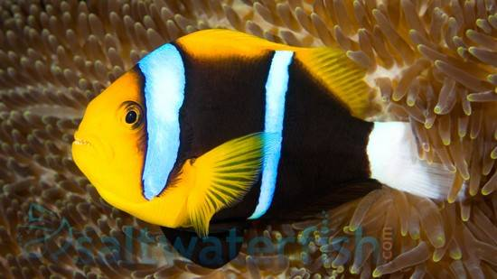 Bluestripe Clownfish Fiji Clownfish Saltwater Fish