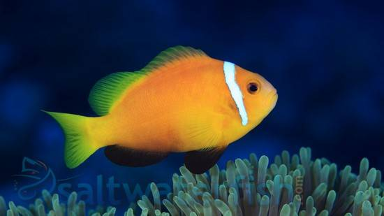 Rose Skunk Clownfish - South Asia