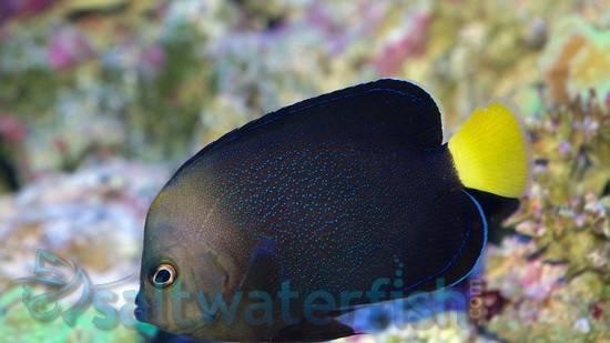 Yellowtail Poma Angelfish