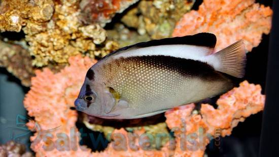 Griffis Angelfish