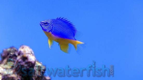 Kupang Damsel - Limit 1 $10 Deal