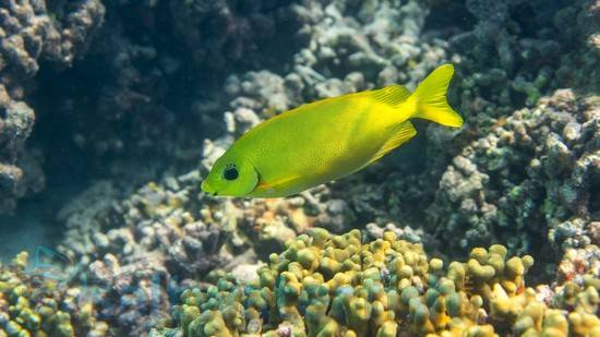 Golden Rabbit Fish