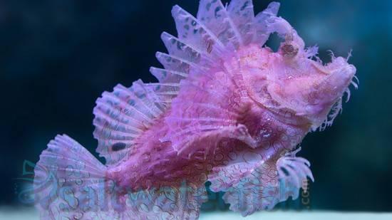 Rhinopias: Red/Purple