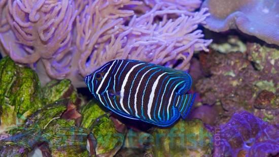Blueface Angelfish: Juvenile