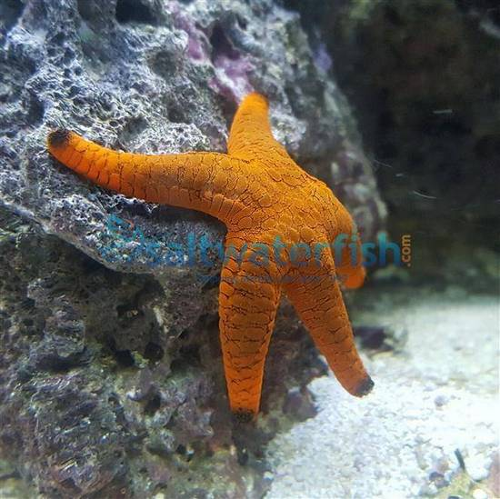 Marble Starfish: Red - South Asia