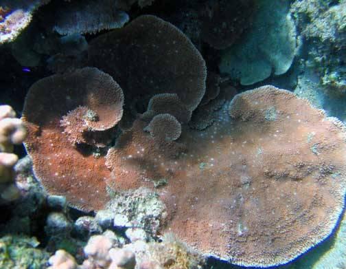 Montipora Coral: Orange Plating - Aquacultured