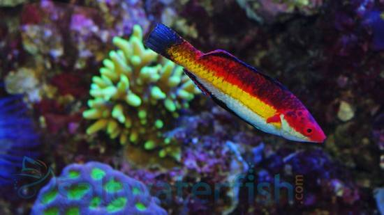 Naoko's Fairy Wrasse: Male