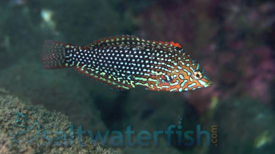 Ornate Leopard Wrasse: Female