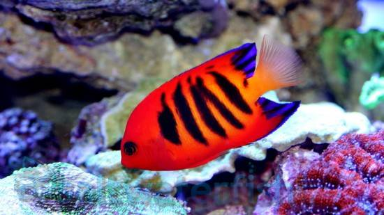 Flame Angelfish - Limit 1 Customer Favorite Flash Sale