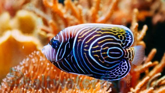 Emperor Angelfish - Changing