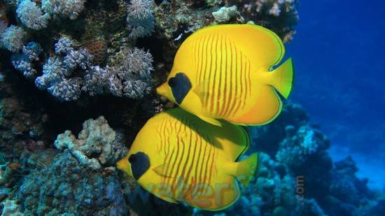 Golden Semilarvatus Butterfly - Red Sea
