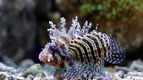 Fuzzy Dwarf Lionfish - Venomous