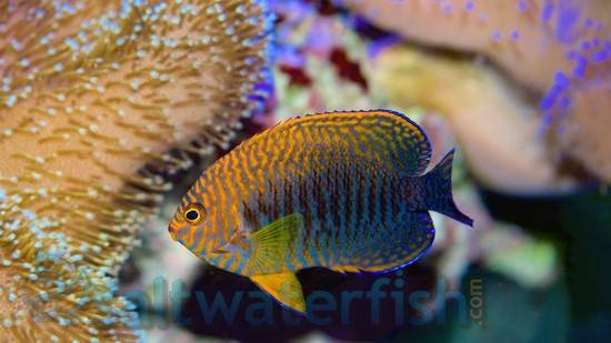 Potters Angelfish - Hawaii