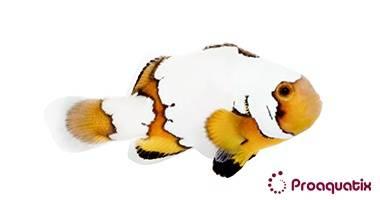 Snowflake Ocellaris Clownfish - Captive Bred