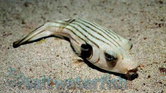 Striped Dogface Puffer
