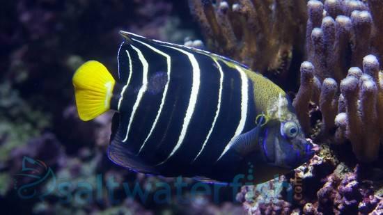 Chrysurus Angelfish: Juvenile - Africa
