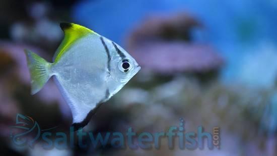 Mono Fish