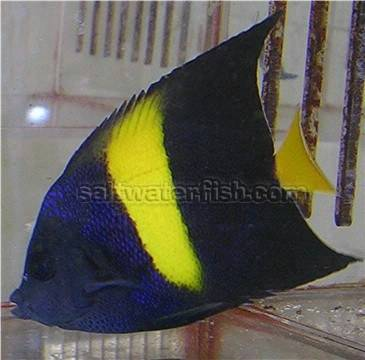 Asfur Angelfish - Red Sea