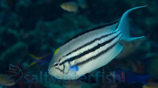 Lamarck Angelfish: Male