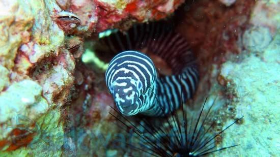 Zebra Eel - Eastern Pacific