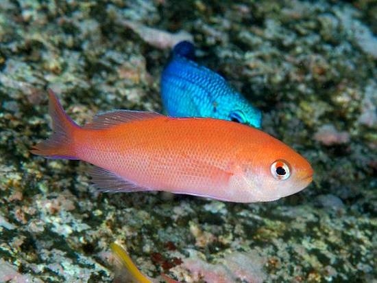 Waitei_Sherbert_Anthias__Marshall_Island__Limit_1_Super_Special