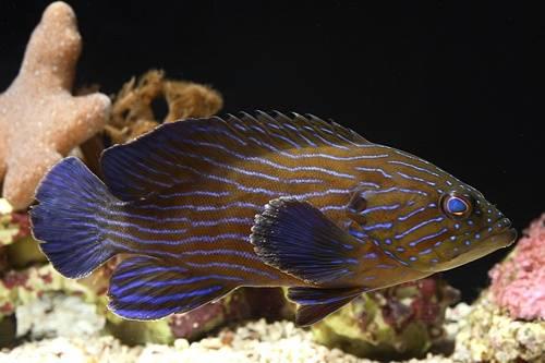 Boenacki (Blueline) Grouper