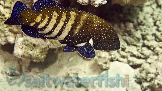 Blue Spot Grouper