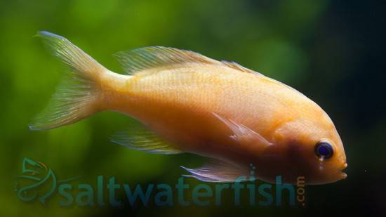 Pink Square Anthias - Female