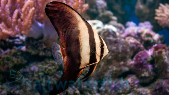 Orbiculate Batfish