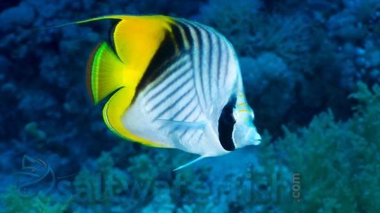Threadfin Butterfly - Fiji