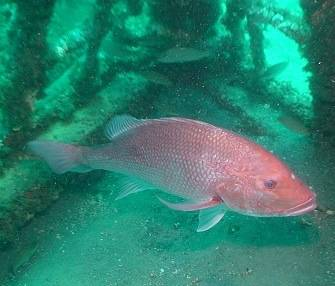 Red Blood Snapper