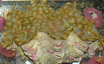 Squamosa Clam - Captive Bred