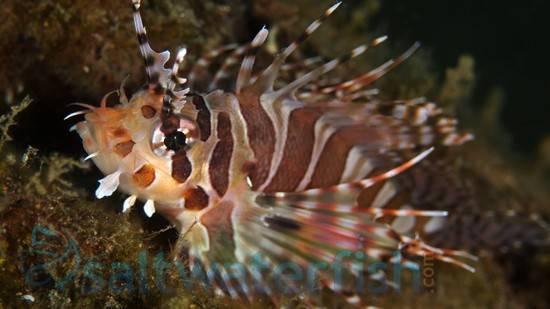 Dwarf Zebra Lionfish - Venomous