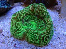 Brain Coral: Metallic Stripe - Australia