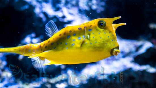 Long Horned Cowfish - Baby