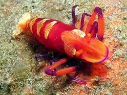 Emperor Shrimp: Red