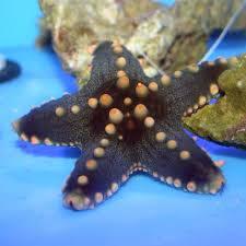 General Starfish: Color