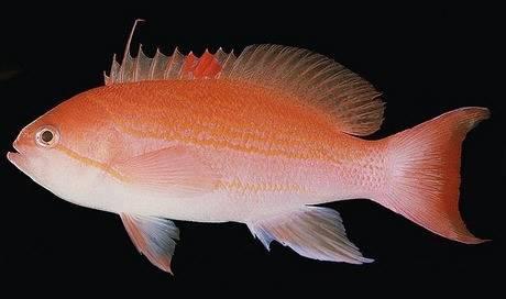 Bloodspot Anthias: Female