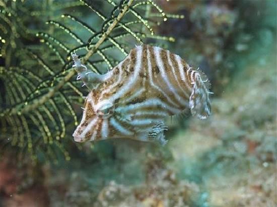 Tiger Filefish