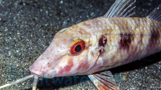 Red Goatfish