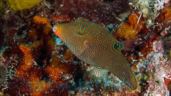 Blue Spot Puffer - Central Pacific
