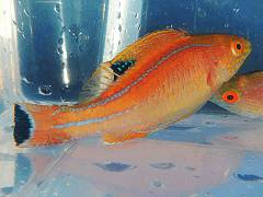 Rose Band Fairy Wrasse